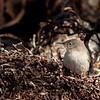 Endemic Cobb's Wren on Carcass Island