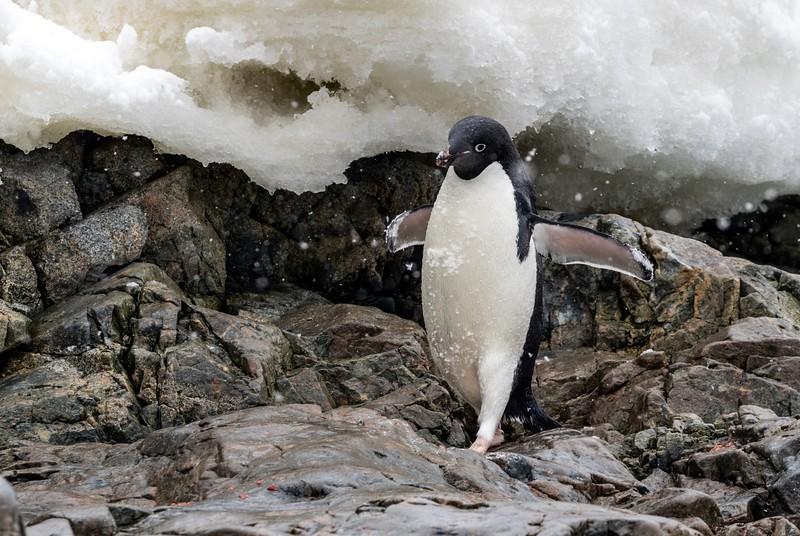Adelie Penguin close to Primavera Base in Cierva Cove