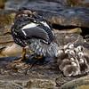 Flightless Steamer Duck with chicks on Carcass Island