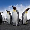King Penguins, St Andrews Bay