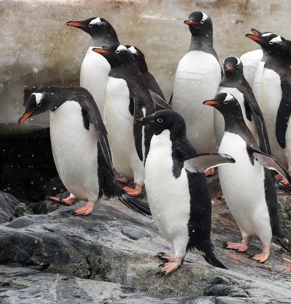 A lone Adelie Penguin amongst a Gentoo colony close to Primavera Base in Cierva Cove