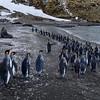 King Penguins avoiding a Fur Seal at St Andrews Bay
