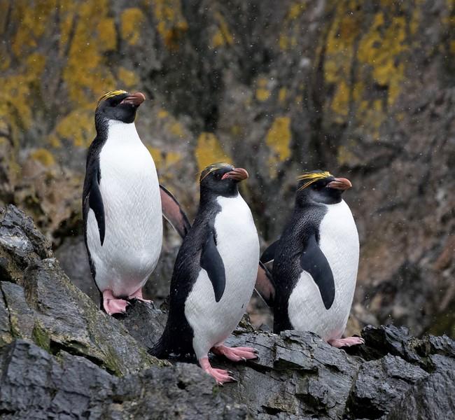 Macaroni Penguins at Elsehul