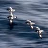 Cape Petrels escorting the Vavilov - a Goldstein-esque slow pan