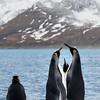 Courting King Penguins, St Andrews Bay