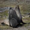 Fur seals sparring on St Andrews Bay