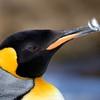 Preening King Penguin