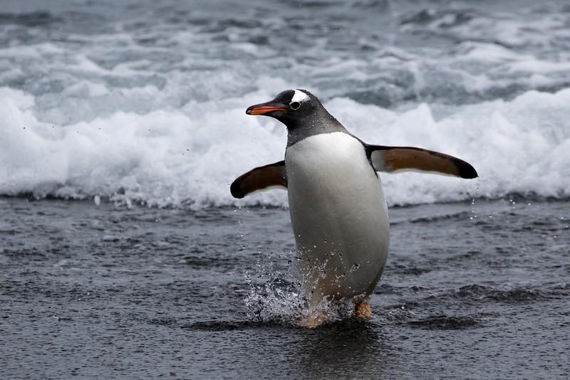 Gentoo Penguin at Gold Harbour