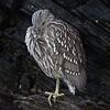 Juvenile Black-crowned Night Heron on Carcass Island