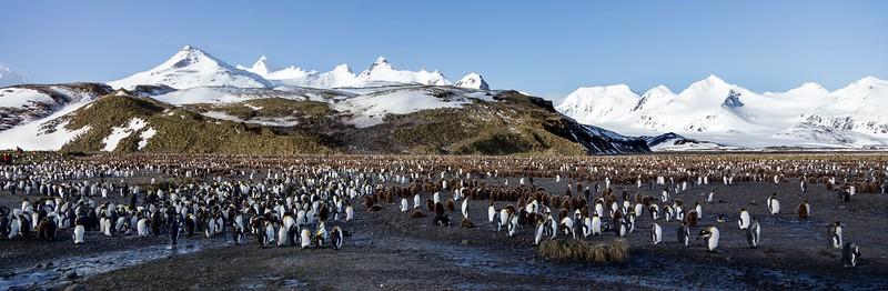 Part of the amazing King Penguin colony on Salisbury Plain