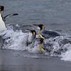 King Penguins arriving at St Andrews Bay