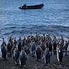 King Penguins going to sea en masse at St Andrews Bay
