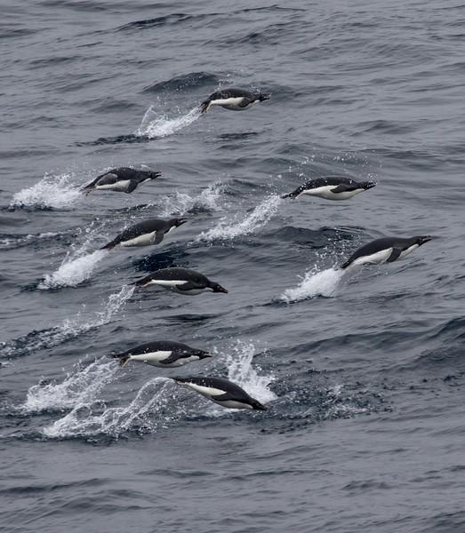 Porpoising Adelie Penguins near the South Shetland Islands