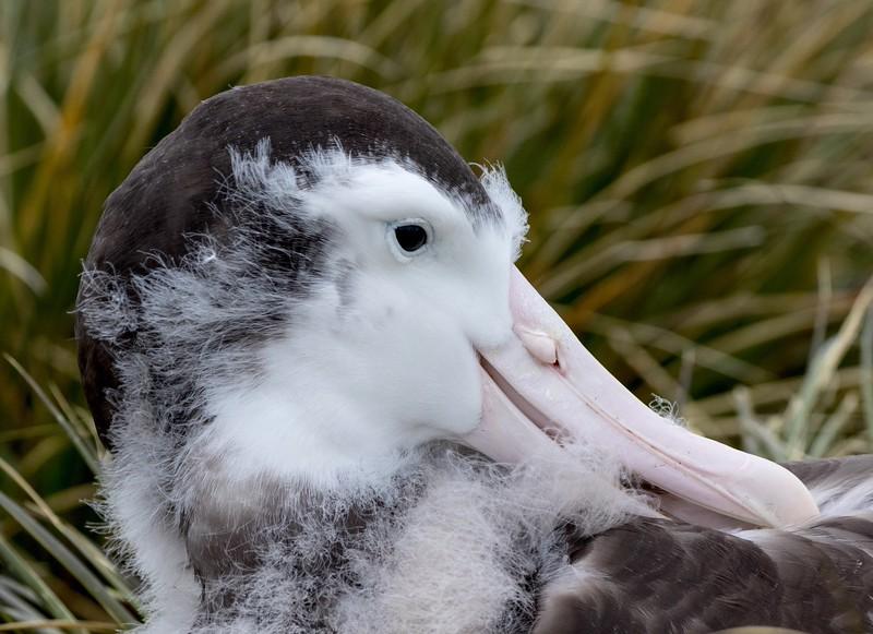 A seven month old Wandering Albatross chick preening him/herself
