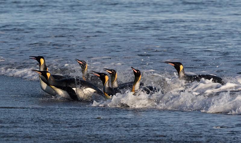 King Penguins surfing home