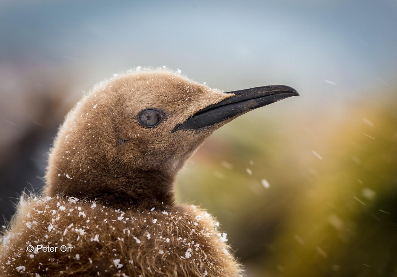 Juvenile King Penguin
