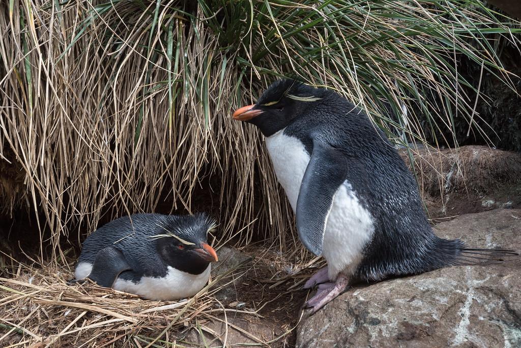 Rock-hopper penguins