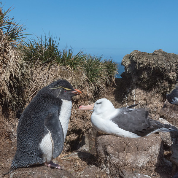 Rockhopper penguin and black-browed albatross