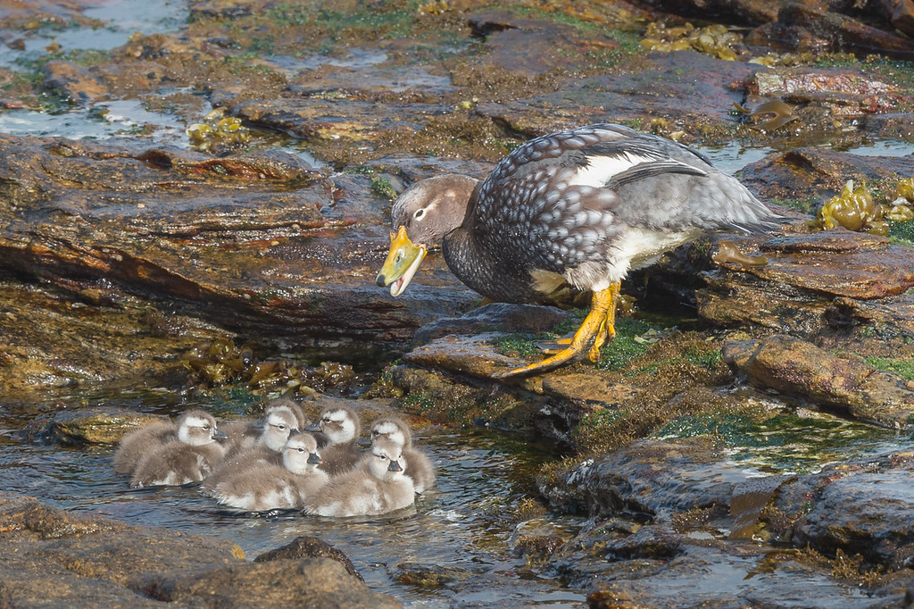 Flightless steamer duck and ducklings