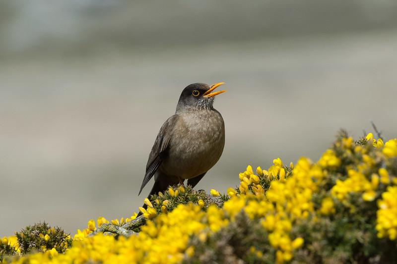 Falkland thrush