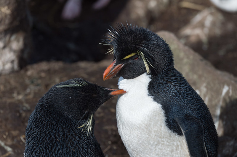 Rock-hopper penguins