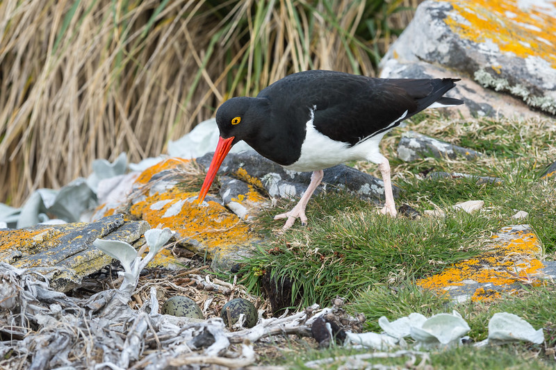 Magellanic oystercatcher and nest