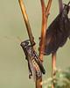 Grasshopper @ Glacier Ridge MP