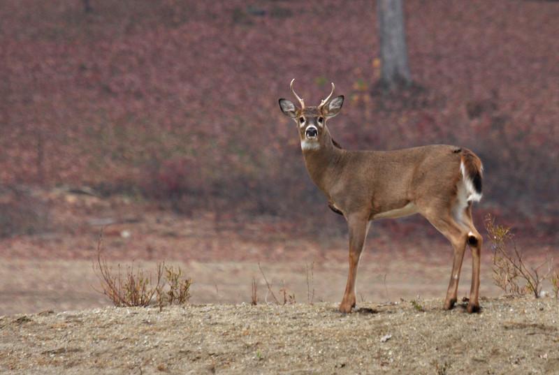 Whitetail Buck @ Hoover - Nov. 2008