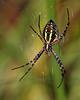 Garden Spider @ Glacier Ridge MP