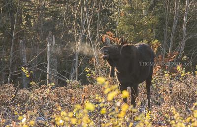 Bull Moose Gang