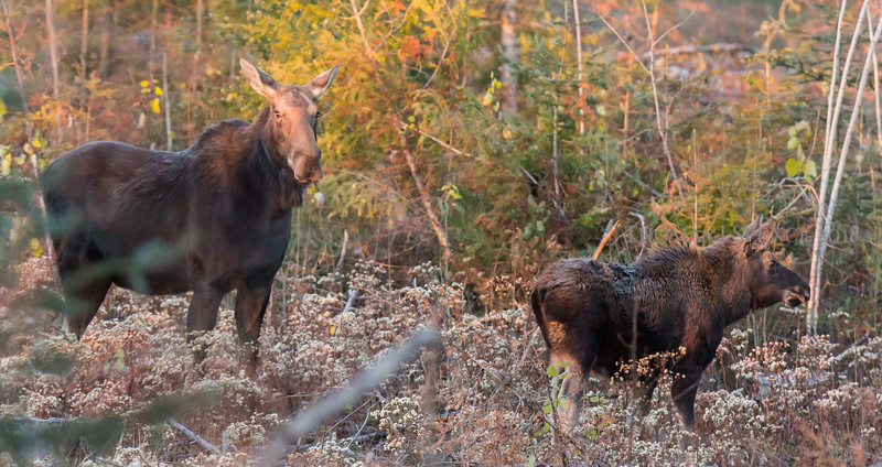 Cow and Calf  - Sunrise Meal