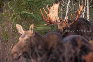 Big Bull Moose - Hoss