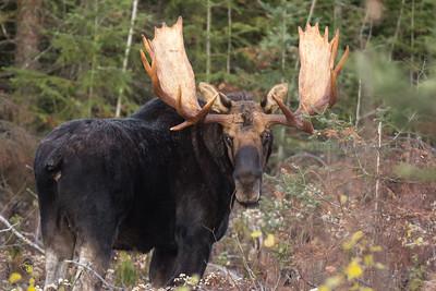 Big Hoss - Bull Moose