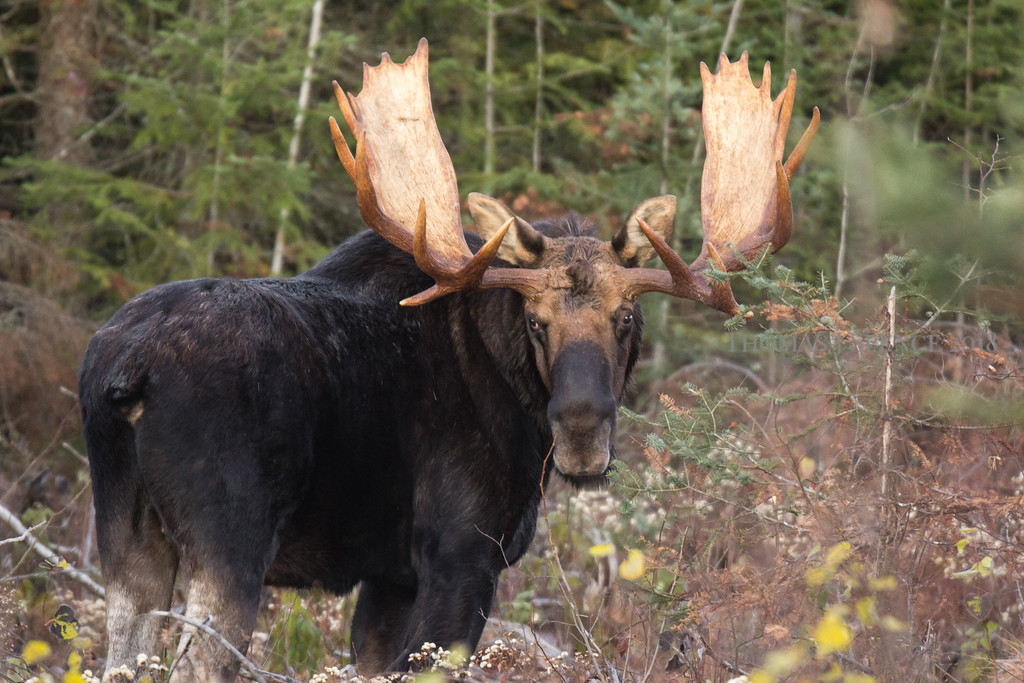 Big Hoss - Bull Moose