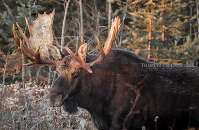 Big Bull Moose - Hoss