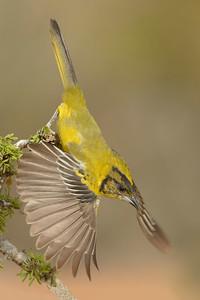 Audubon's Oriole Juvenile Santa Clara Ranch McCook TX