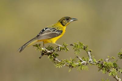 Audubon's Oriole Juvenile