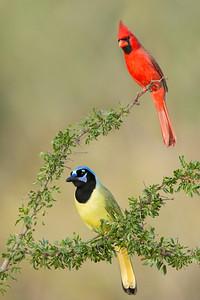 Northern Cardinal and Green Jay