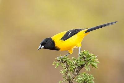 Audubon's Oriole Santa Clara Ranch McCook TX
