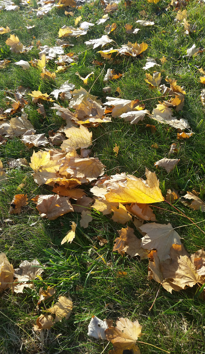Leaves on the Lawn (Samsung Galaxy S5)