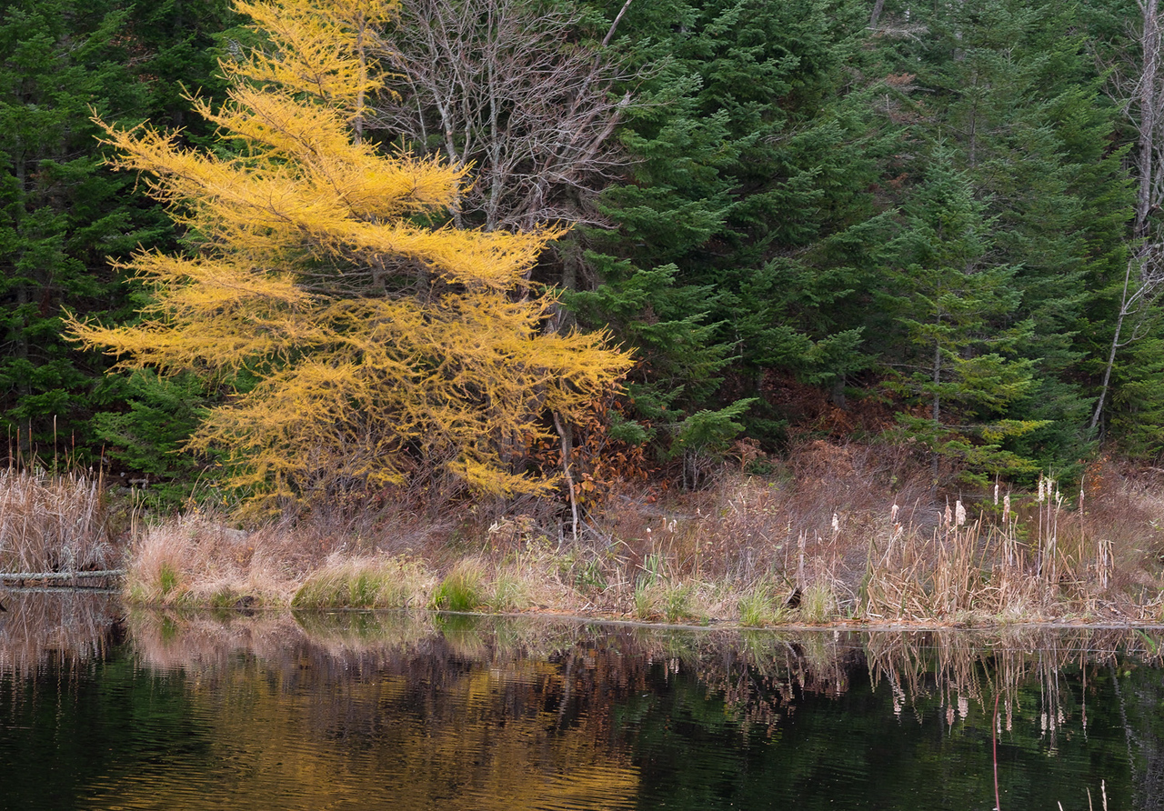 Tamaracks and Cattails ( Fujifilm XE 2, XF 56mm f1.2)