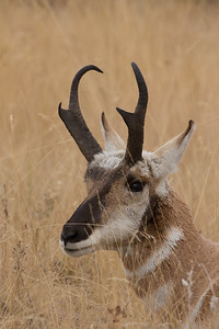Pronghorn - keeping an eye on his small  harem
