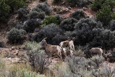 Bighorn Sheep in Bighorn Canyon