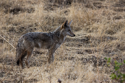 Coyote on early morning search of prairie
