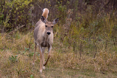 White-tailed Deer - Young deer showing alarm, whle others around kept eating
