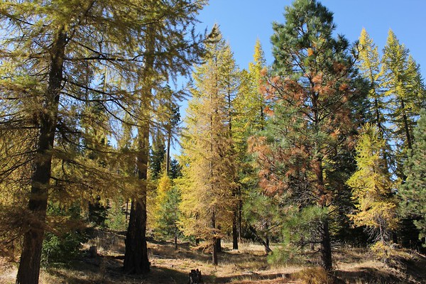 A grove of larch and pines along the Forest Service road to Bear Creek Mtn