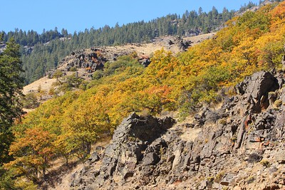 Oaks changing color along Hwy 12 near Naches, WA