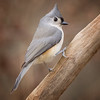 Tufted Titmouse #8