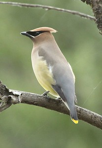 A Cedar waxwing in the Wenas area near Yakima