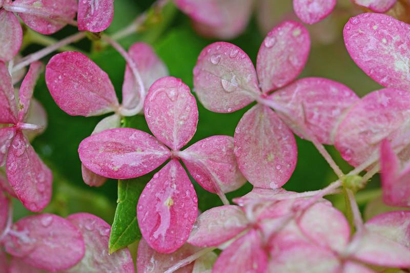 Hydrangea  After October Rain